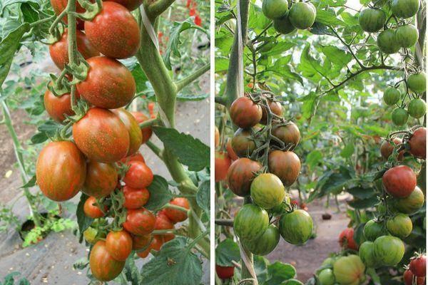 Томат полосатый — описание сорта, фото, урожайность и отзывы садоводов