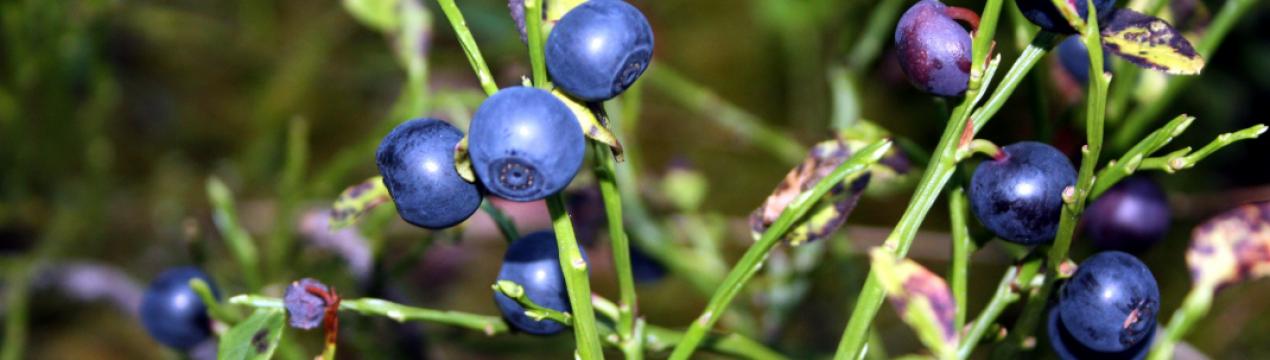 Черника садовая: посадка, выращивание и уход