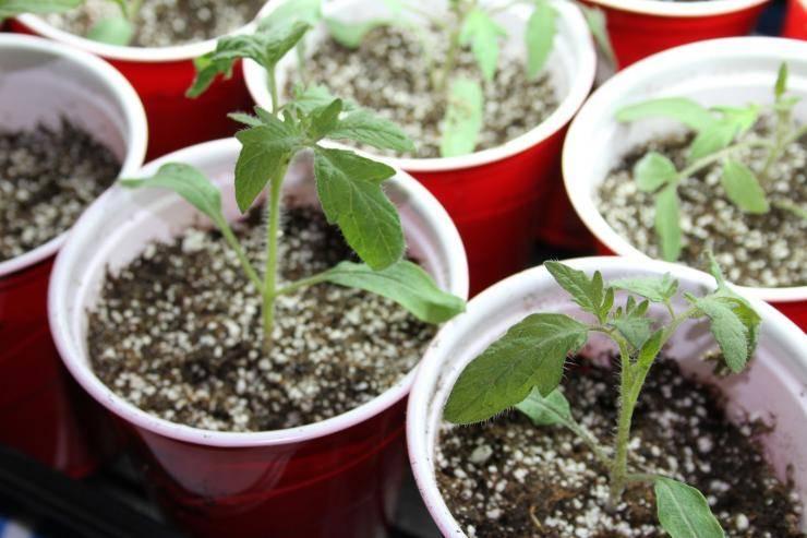 Практические рекомендации по выращиванию рассады томатов китайским способом. нюансы метода от «а» до «я»