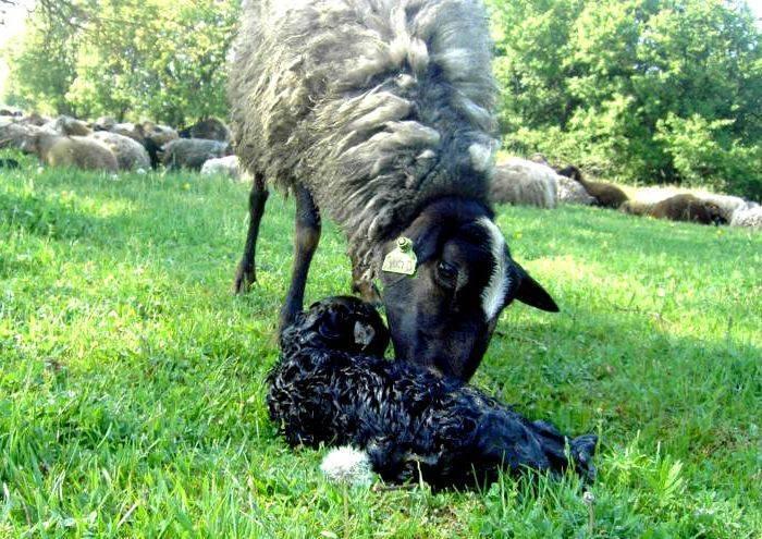 Все о процессе ягнения овец