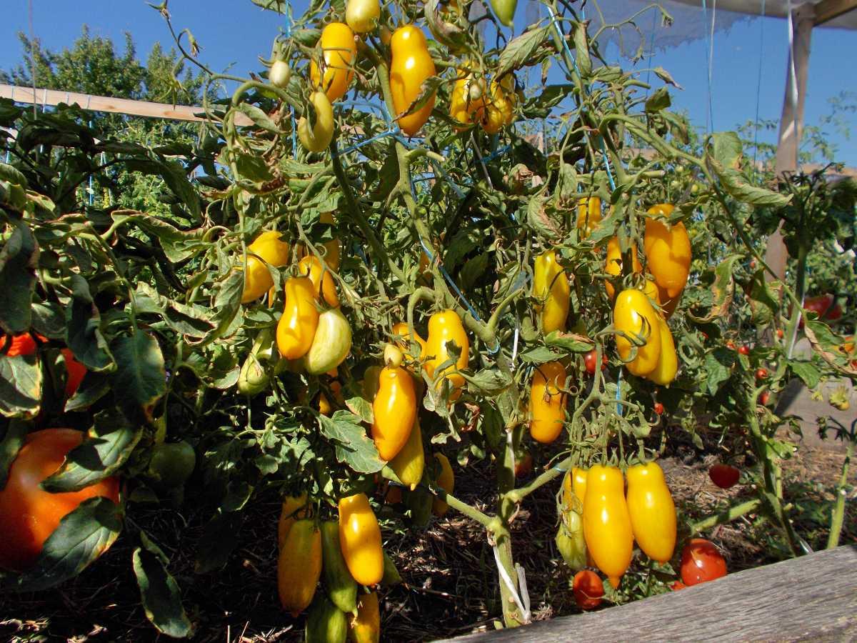 Помидорный сорт банановые ноги: характеристики, описание, особенности выращивания томата