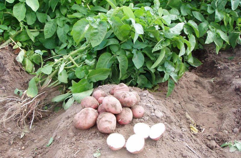 Что можно посадить после капусты – планируем посадки на следующий год