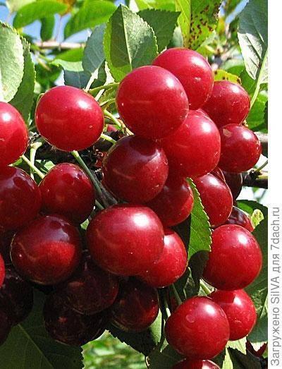 В каком возрасте вишня начинает плодоносить