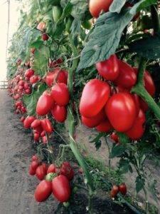 Сорт томата «чибис»: описание, характеристика, посев на рассаду, подкормка, урожайность, фото, видео и самые распространенные болезни томатов