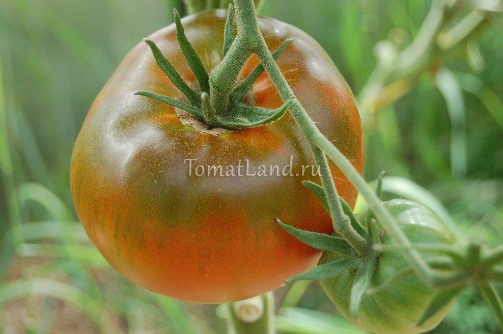 Сорт томата король ранних