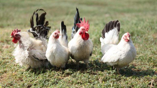 Карликовые породы кур: описание и содержание
