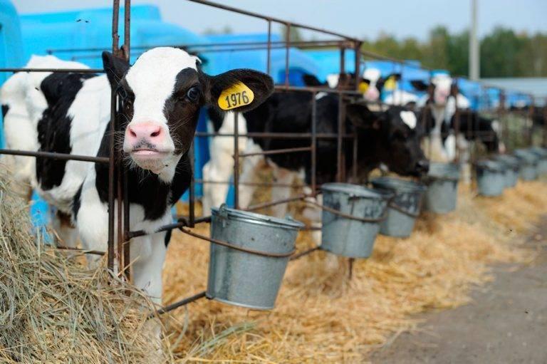 Породы и названия коров молочного направления в россии
