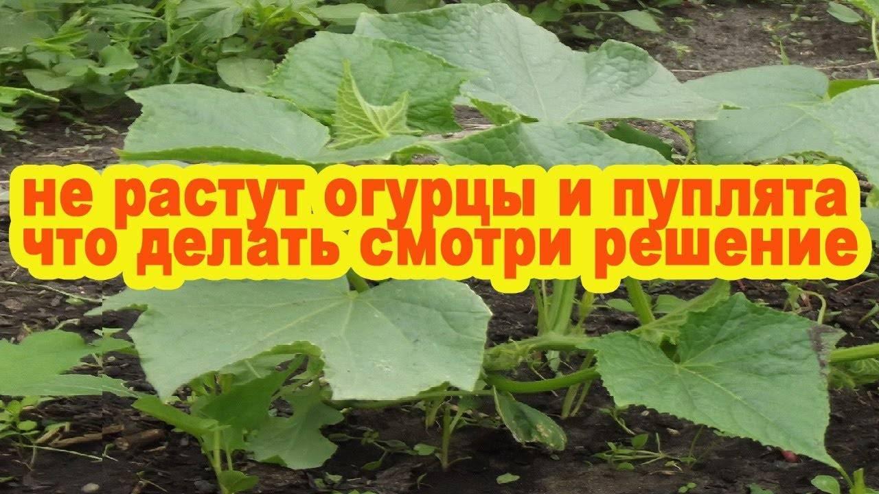 Как увеличить урожай огурцов вдвое