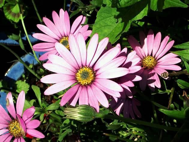 Остеоспермум: фото, выращивание, посадка и уход в открытом грунте