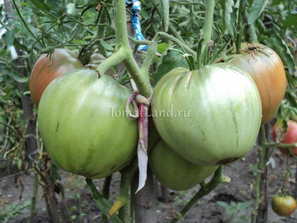 Томат маршал победа: описание сорта, урожайность и выращивание с фото