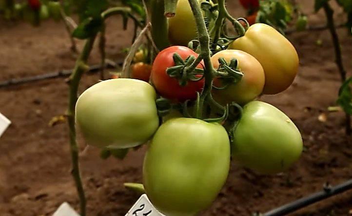 Томат столыпин: особенности сорта и 4 этапа выращивания рассады