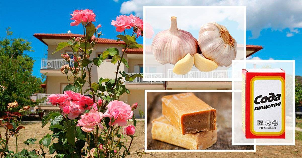 """Как вылечить розы без """"химии"""": лучшие народные средства от болезней и вредителей"""