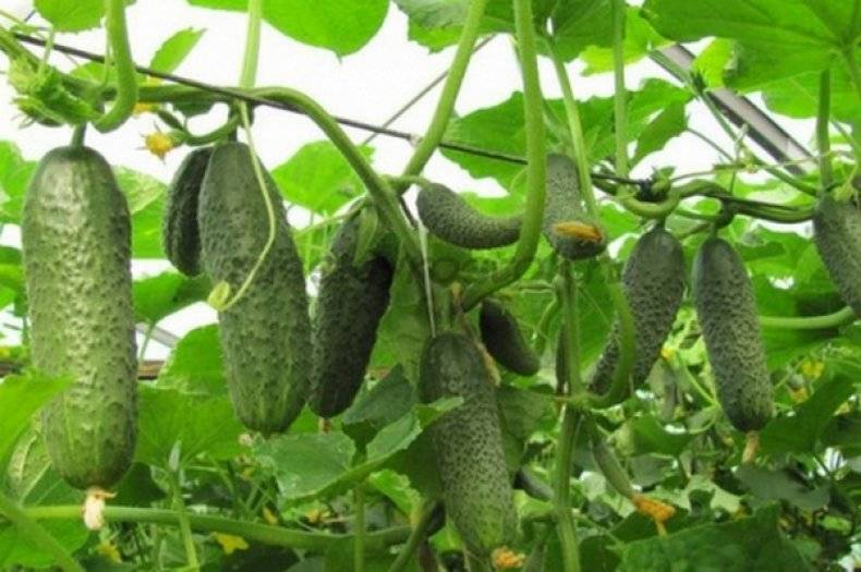 Выращивание огурца сатина
