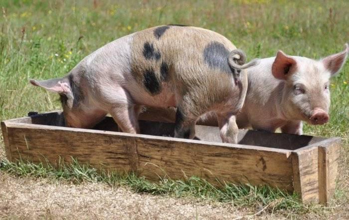 Паратиф у свиней симптомы и лечение
