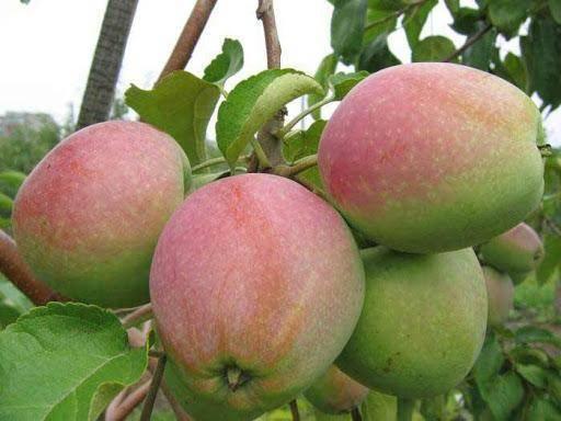 Выращивание яблони россошанское полосатое