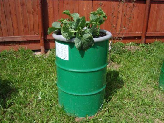 Как правильно посадить огурцы в открытый грунт под пленку