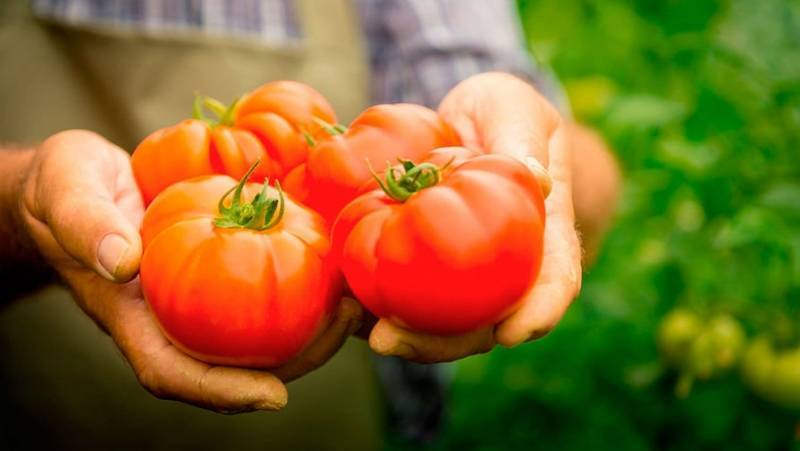 Томат райское наслаждение: характеристика и описание сорта, урожайность и фото