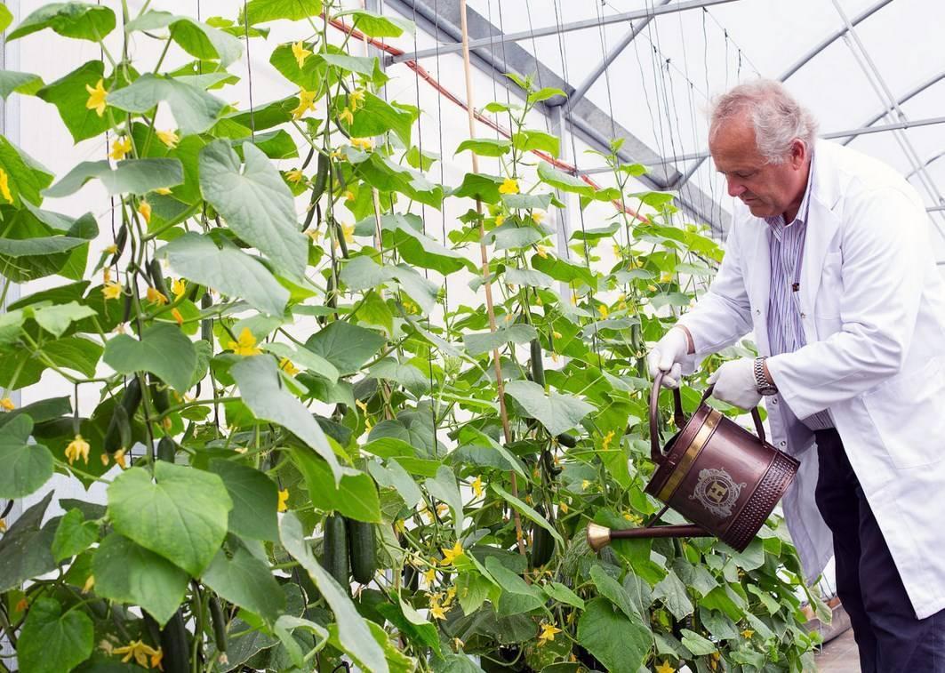 Описание сорта огурца магнат, выращивание и уход