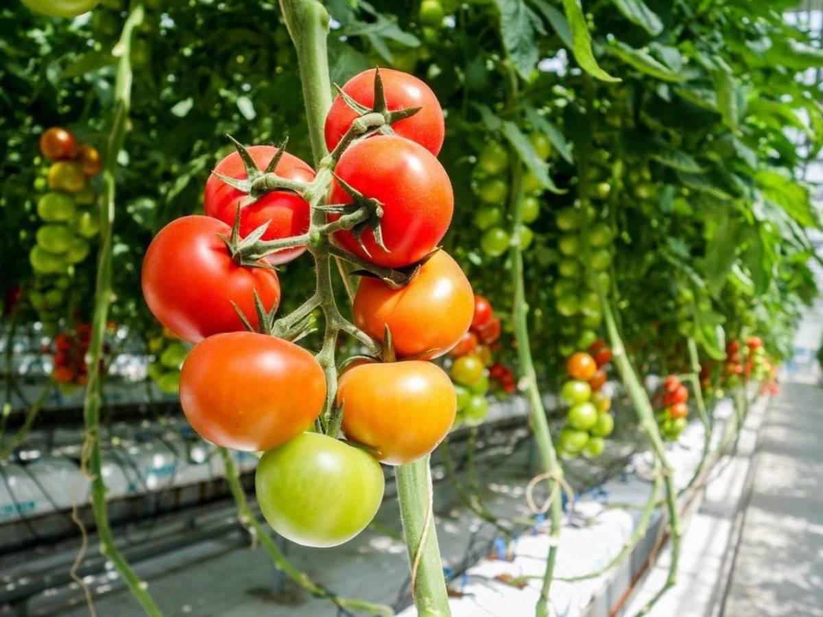 Описание сорта томата сеньор помидор и его урожайность