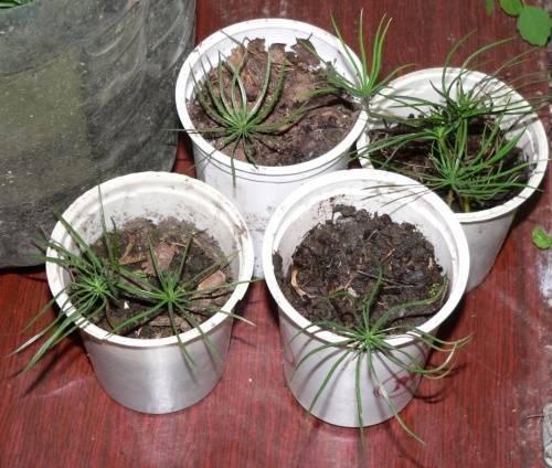 Как вырастить кедр на даче