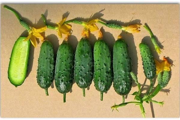 Огурец «зятек f1»: описание гибридного сорта, фото и отзывы