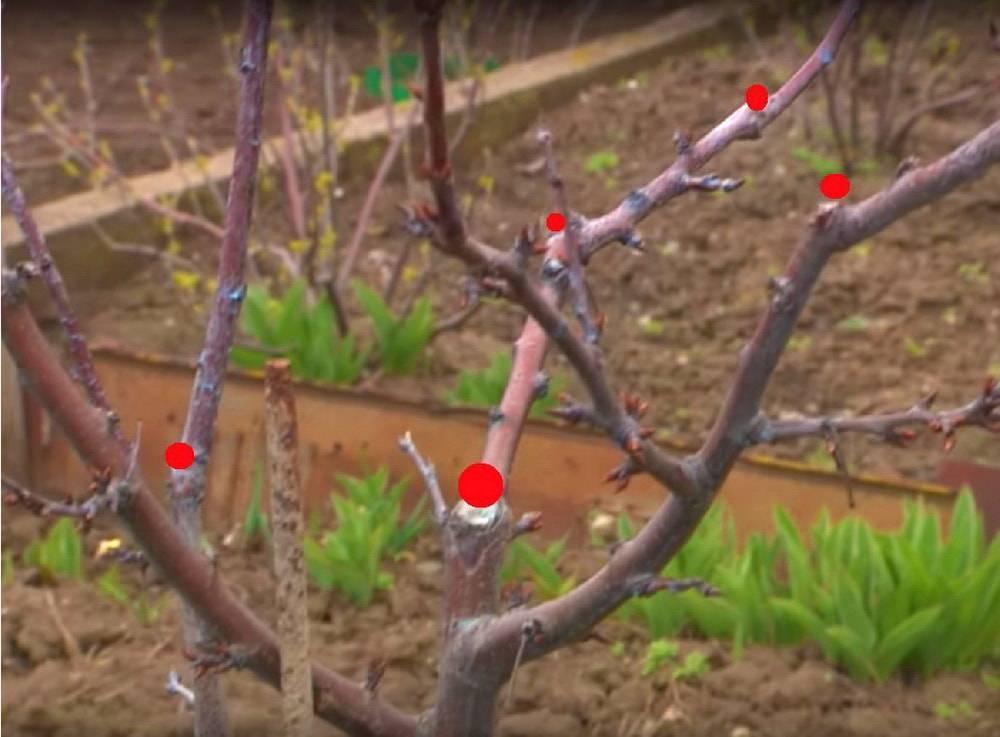 Обрезаем сливу весной и осенью – советы для начинающих и не только