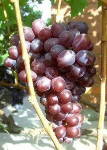 Характеристики сорта винограда лидия и описание преимуществ и недостатков культуры