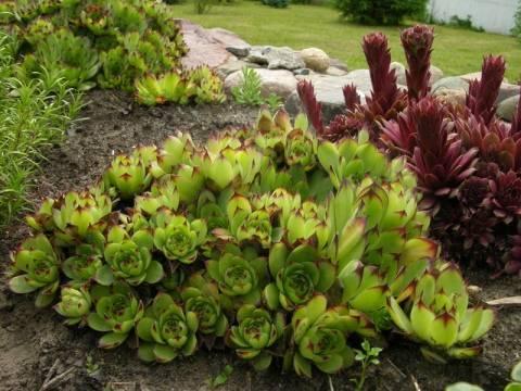 Молодило в ландшафтном дизайне – рекомендации по выращиванию, посадка и уход в открытом грунте