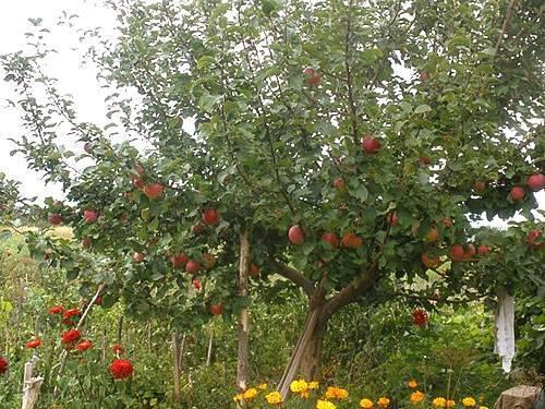Лучшие сорта яблони для сибири: описание и характеристика
