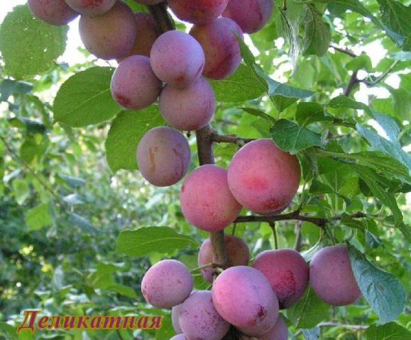 Обзор лучших сортов сливы для выращивания в ленинградской области