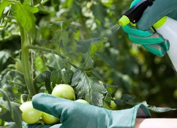 Поэтапное руководство по обработке томатов метронидазолом от фитофторы: боремся с заболеванием и предотвращаем его