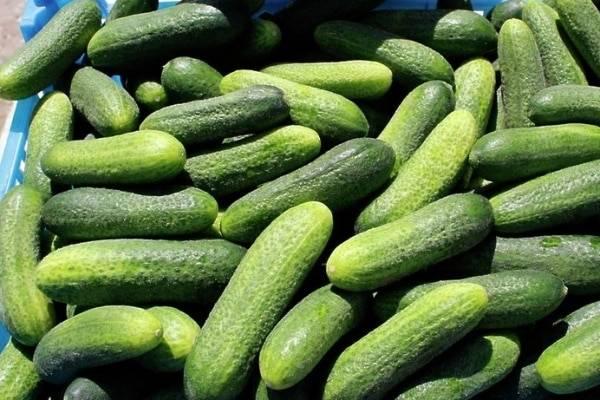 Гибрид огурцов «клавдия f1»: фото, видео, описание, посадка, характеристика, урожайность, отзывы