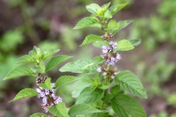 Полезное и лечебное растение — мята полевая. фото, нюансы посадки и ухода