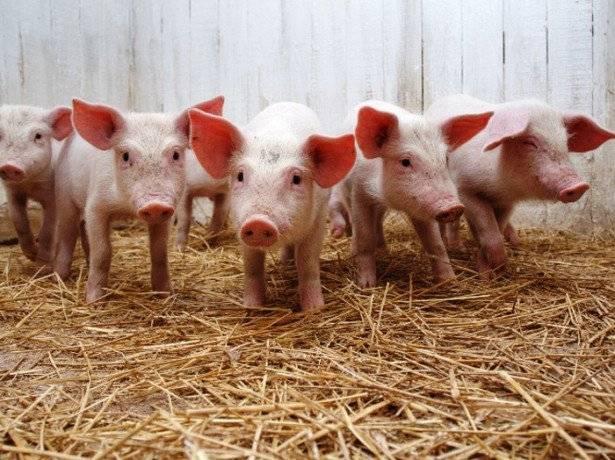 В каком возрасте гуляют свиньи