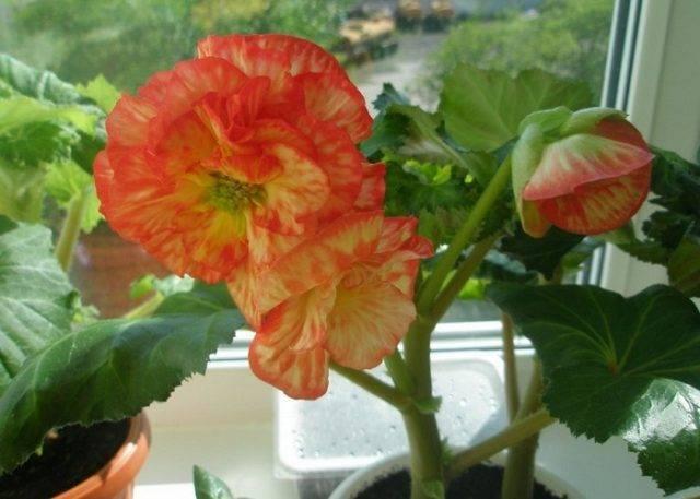 Бегония: размножение листом в домашних условиях