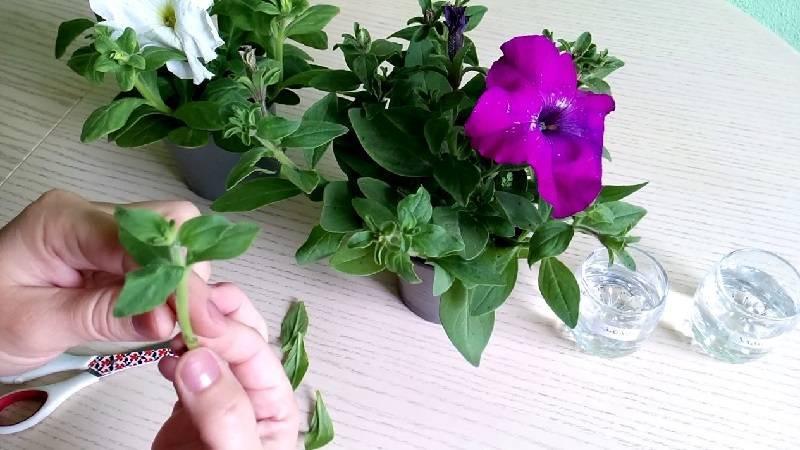 Как лучше сохранить петунию до весны следующего года в домашних условиях