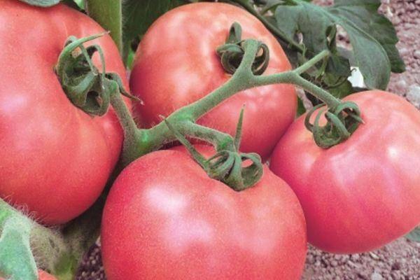И вкусно и красиво — сорт томата садовая жемчужина