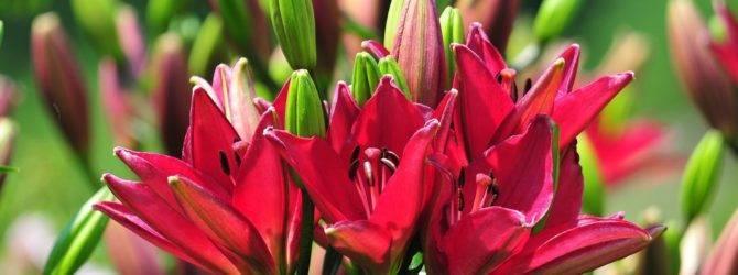 Пересадка лилий осенью – нужный приём для лучшего цветения