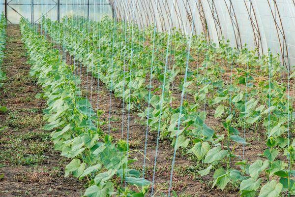 Японский способ выращивания огурцов: проращивание рассады огурцов в опилках