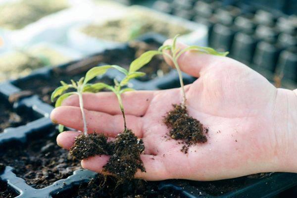 Вредители и болезни рассады томатов: фото и их лечение