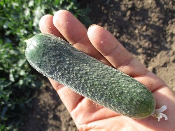 Огурец примадонна f1: описание и характеристика сорта, урожайность с фото