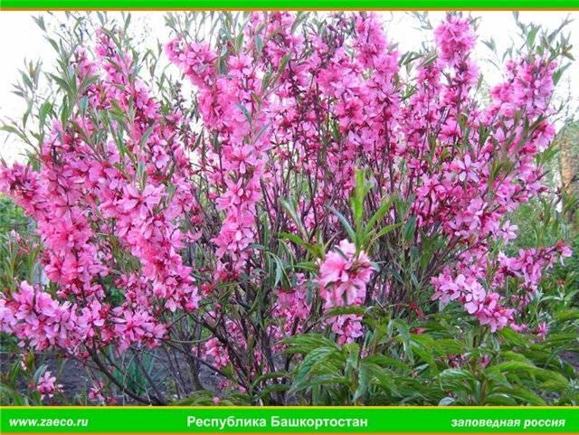 Посадка миндального дерева в саду, особенности ухода и размножения