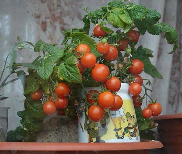 Карликовые помидорчики сорта пиноккио прекрасно растут в квартире даже зимой