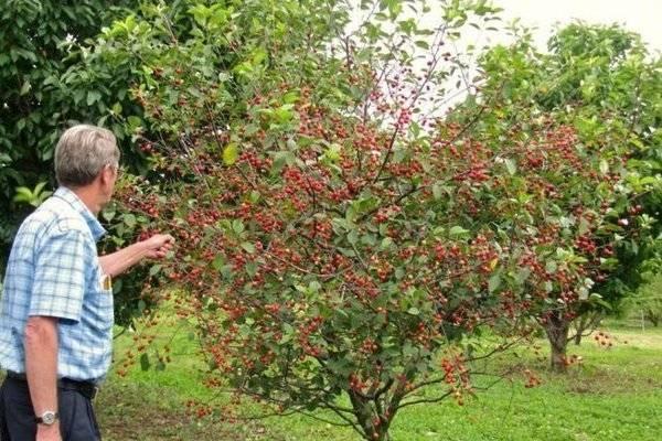 Чем хороша карликовая вишня: отзывы и рекомендации по выбору