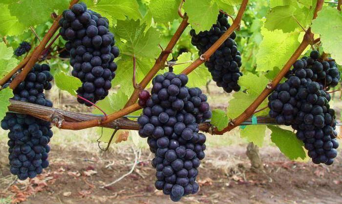 Выращивание винограда в теплице — как посадить и ухаживать