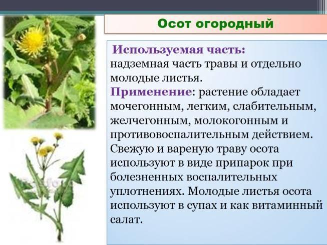 Полезные свойства и противопоказания осота огородного, правила использования