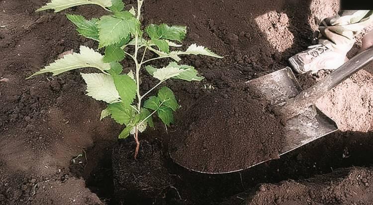 Как посадить малину весной: рекомендации начинающим садоводам