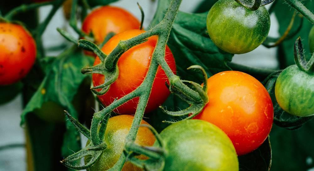 Как обработать рассаду томатов до посадки в грунт?