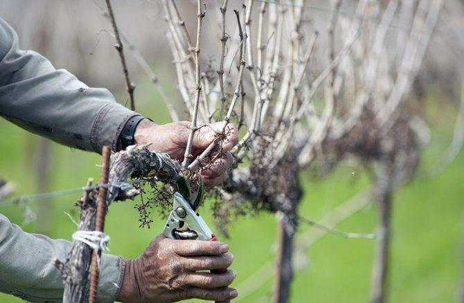 Что делать если не вызрела лоза винограда