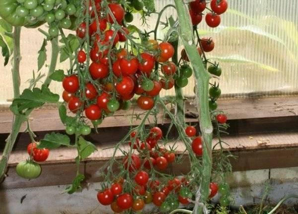 Россыпь ярких плодов в теплице и на открытой грядке – томат «груша красная»: описание сорта, особенности выращивания